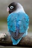 Oiseau bleu Image libre de droits