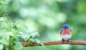 Oiseau bleu au printemps photo stock