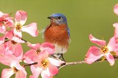 Oiseau bleu avec des fleurs de cornouiller photo libre de droits