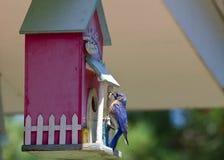 Oiseau bleu avec l'anomalie image stock