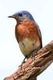 Oiseau bleu d'isolement sur une perche images libres de droits