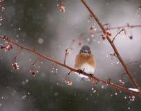 Oiseau bleu dans la tempête de neige Photo stock