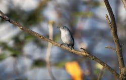 Oiseau bleu de Gray Gnatcatcher, la Géorgie image libre de droits