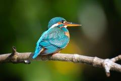 Oiseau bleu de martin-pêcheur Images stock