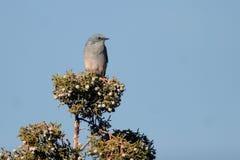 Oiseau bleu de montagne, currucoides de Sialia Image stock