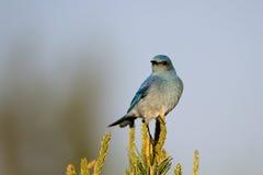 Oiseau bleu de montagne, currucoides de Sialia Photographie stock libre de droits