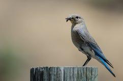 Oiseau bleu de montagne montrant son crochet tandis qu'été perché placé sur un poteau en bois superficiel par les agents Photo libre de droits