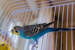 Oiseau bleu de perroquet photos stock