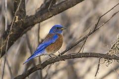 Oiseau bleu de Westy Image libre de droits