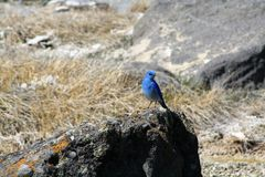 Oiseau bleu en parc national de Yellowstone Image stock