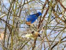 Oiseau bleu et Cedar Waxwing Foraging orientaux pour des baies Photos libres de droits