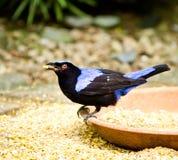 Oiseau bleu féerique asiatique Photos libres de droits