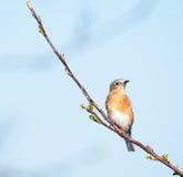 Oiseau bleu femelle Images libres de droits