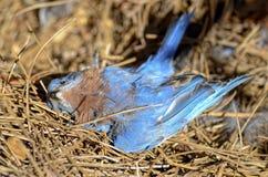 Oiseau bleu mort Photographie stock
