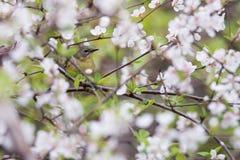 Oiseau bleu Noir-throated femelle de fauvette en Cherry Blossoms photos libres de droits
