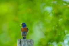 Oiseau bleu occidental Image stock