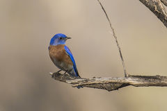 Oiseau bleu occidental Photographie stock libre de droits