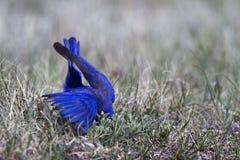 Oiseau bleu occidental, mexicana de Sialia Image libre de droits