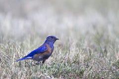 Oiseau bleu occidental, mexicana de Sialia Image stock