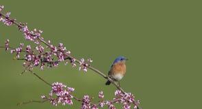 Oiseau bleu oriental été perché sur la branche de Redbud photo libre de droits