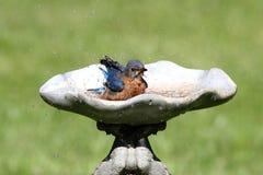 Oiseau bleu oriental Image libre de droits