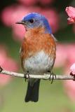 Oiseau bleu oriental Photographie stock