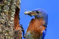Oiseau bleu oriental Photos libres de droits