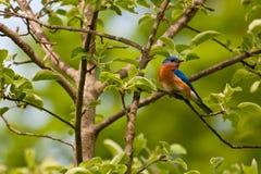 Oiseau bleu oriental Photo libre de droits