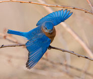 Oiseau bleu oriental Photo stock