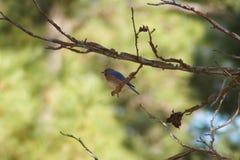 Oiseau bleu oriental Images libres de droits