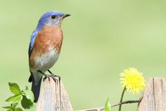 Oiseau bleu oriental avec Dandilion Photographie stock