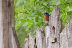 Oiseau bleu oriental d'arrière-cour avec le ver Image stock