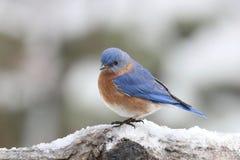 Oiseau bleu oriental d'hiver Images libres de droits