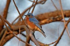 Oiseau bleu oriental dans les branches Photos stock
