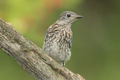 Oiseau bleu oriental de chéri Photographie stock
