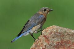 Oiseau bleu oriental femelle Photo stock