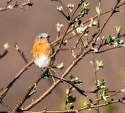 Oiseau bleu oriental femelle Photo libre de droits