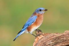 Oiseau bleu oriental mâle Photo stock