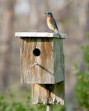 Oiseau bleu oriental masculin avec le ver Images libres de droits