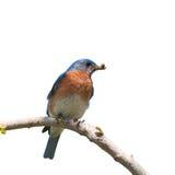 Oiseau bleu oriental masculin ; d'isolement sur le blanc images stock