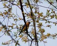 Oiseau bleu oriental masculin dans l'arbre Images stock