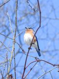 Oiseau bleu oriental se reposant sur une branche mince Photographie stock