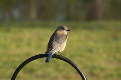 Oiseau bleu oriental - sialis de Sialia Photos stock
