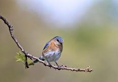 Oiseau bleu oriental (sialis de sialia) Image libre de droits