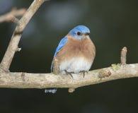 Oiseau bleu oriental sur une branche d'arbre Photos stock