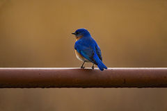 Oiseau bleu oriental sur une porte Image stock