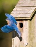 Oiseau bleu partant du birdhouse Photographie stock libre de droits
