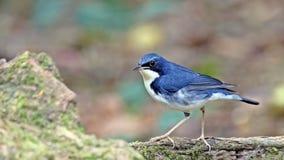 Oiseau bleu sibérien de Robin photographie stock