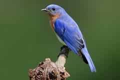 Oiseau bleu sur un tronçon Image stock