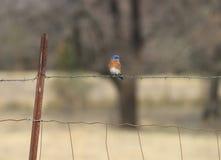 Oiseau bleu sur une barrière rustique de pâturage de fil regardant au côté Photo libre de droits